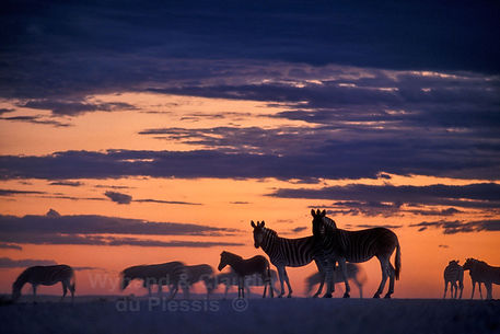 Zebra at sunset, Etosha, Namibia - wildlife038