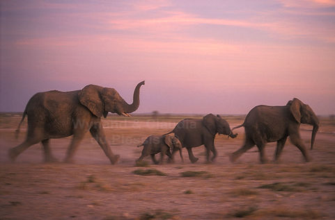 Elephants running to a waterhole, Etosha, Namibia - elephants012