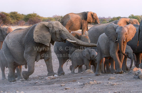 Elephants at Chudop waterhole, Etosha: elephants118