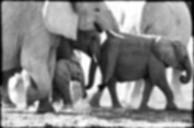 Elephant baby in protection of herd, Etosha, Namibia _ Black-White023