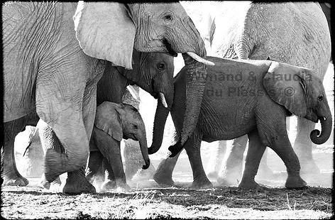 Elephant baby in protection of herd, Etosha, Namibia _ Black-White023