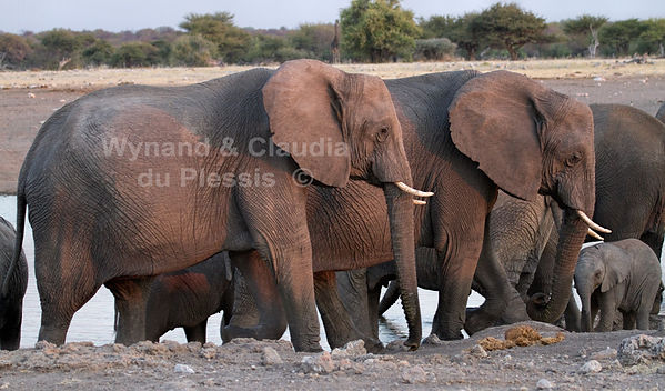 Elephants at Chudop waterhole, Etosha: elephants117
