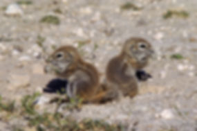Ground squirrel babies feeding, Etosha: wildlife046