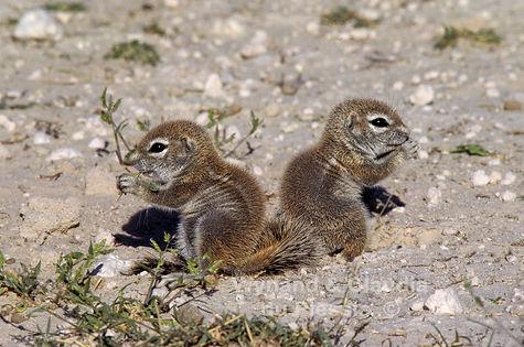 Ground squirrel babies feeding, Etosha: wildlife046