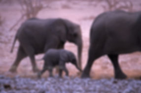 Elephant baby following mother, Etosha, Namibia - elephants058