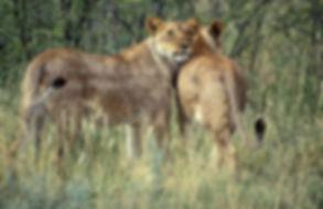 Lionesses hugging, Etosha, Namibia: lion018