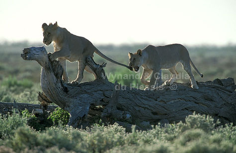Lions play-fighting, Etosha: lion045