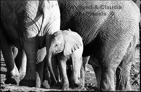Elephant baby with mother, Etosha, Namibia _ Black-White063