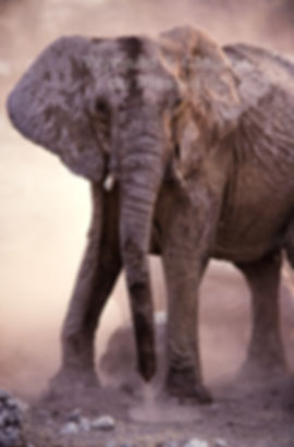 Elephant dust bathing, Etosha, Namibia: elephants137