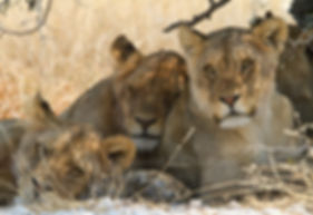 Lazy lions resting during midday heat, Etosha: lion002