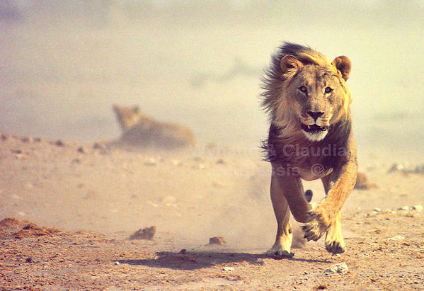 Charging lion in Etosha, Namibia: lion001