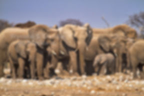 Elephant herd at waterhole, Etosha, Namibia - elephants061