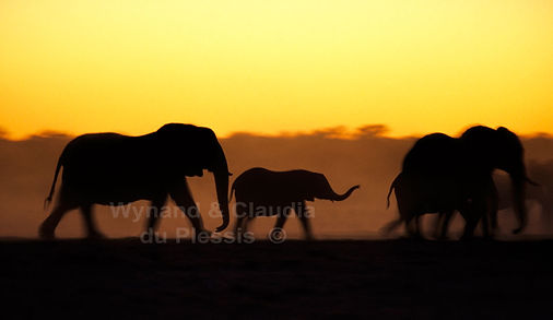 Elephants after sunset, Etosha, Namibia - elephants019