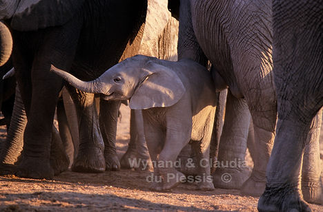 Elephant baby with herd, Etosha, Namibia - elephants066