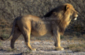 The big boss - Lion in Etosha: lion034