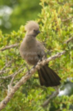 Grey Lourie, Etosha, Namibia - birds030