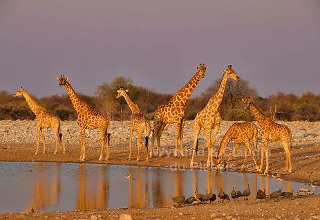 Giraffe herd drinking, Etosha, Namibia - wildlife025