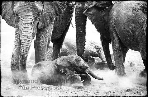 Elephant baby dust bathing, Etosha, Namibia _ Black-White018