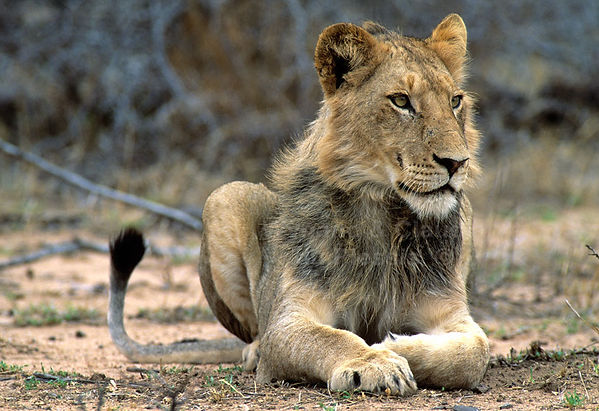 Young male lion in Kruger National Park: lion031