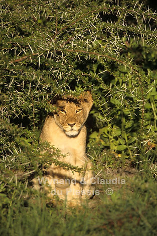 Lion cub hiding in thorn bush, Etosha: lion040