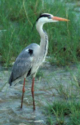 Grey Heron, Etosha Pan, Namibia - birds029