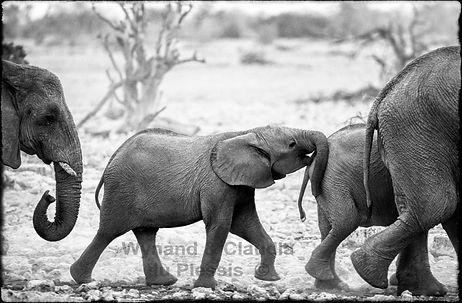 Elephants on the way the waterhole, Etosha, Namibia _ Black-White054