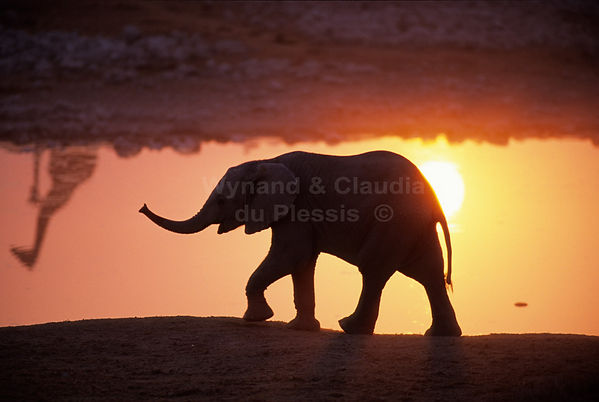 Elephant calf silhouetted at sunset, Okaujuejo, Etosha: elephants105