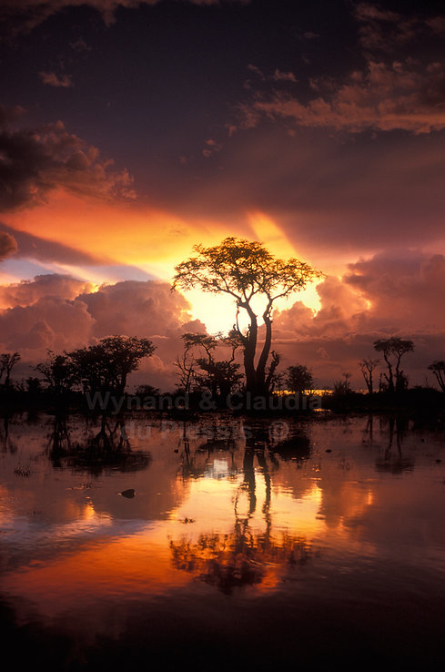 Sprokieswoud in Etosha after rainstorm, Namibia: landscape076