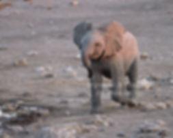 Elephant baby chases bird, Etosha, Namibia - elephants097