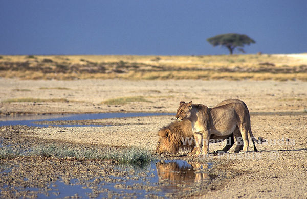 Lions drinking at Okondeka, Etosha: lion021