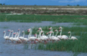 Greater Flamingoes on the Etosha Pan, Namibia - birds027
