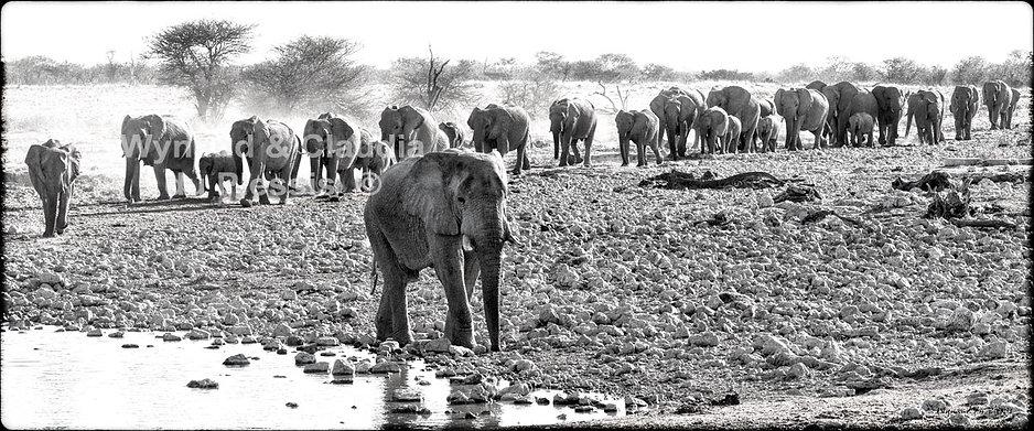 Elephants in single file, Etosha, Namibia _ Black-White039