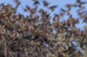 Redbilled Quelea, Etosha, Namibia - birds037