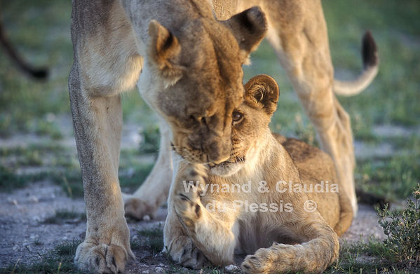 Lioness playing with her cub, Etosha: lion033