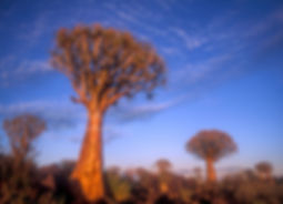 Quiver trees at the Quiver Tree Forest: landscape018