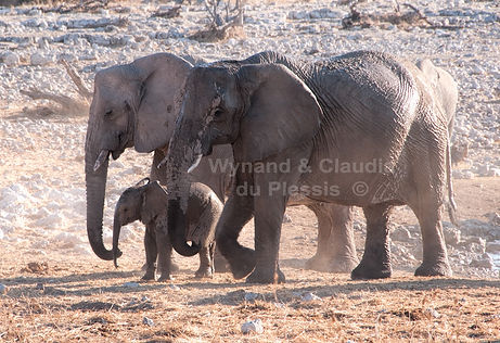 Baby elephant with herd, Etosha, Namibia: elephants134