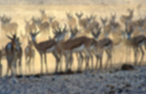 Springbok herd in dust cloud, Etosha, Namibia - wildlife016