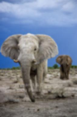 Elephant bulls approaching, Etosha, Namibia: elephants142