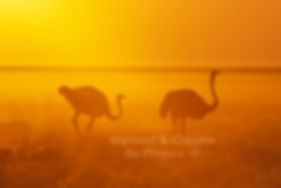 Ostrich at sunset, Etosha, Namibia - birds040