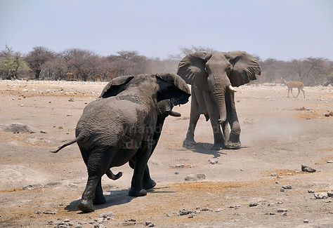 Elephant bulls confrontation, Etosha, Namibia - elephants010