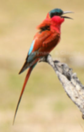 Carmine Bee-eater, Caprivi, Namibia - birds013