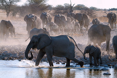 Elephant herd gathers at a waterhole, Etosha, Namibia - elephants041