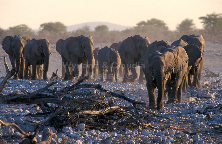 Elephant herd arriving at Okaukuejo waterhole, Etosha - elephants029