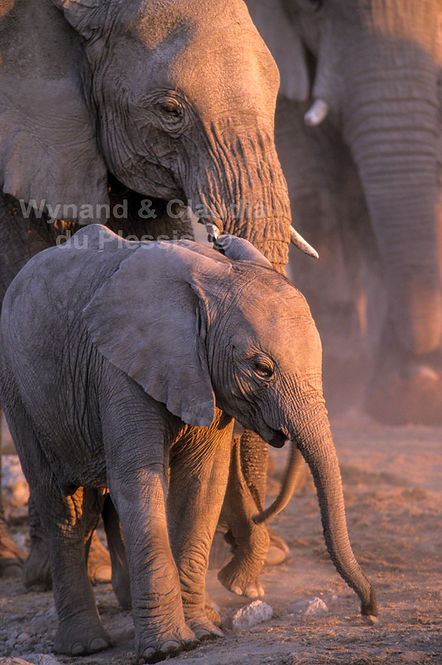 Baby elephant at dusk, Etosha, Namibia - elephants089