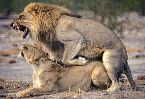 Lions mating, Etosha, Namibia: lion011