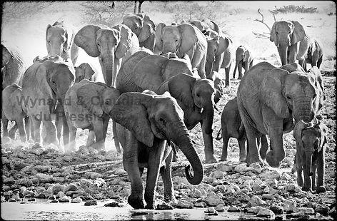 Elephants gather at a waterhole, Etosha, Namibia _ Black-White036