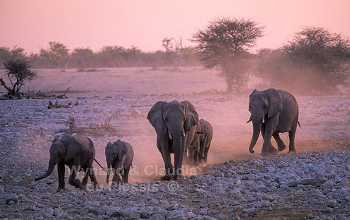 Elephants marshing to waterhole, Namibia: elephants102