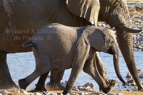 Elephant calf with mother, Etosha, Namibia - elephants050