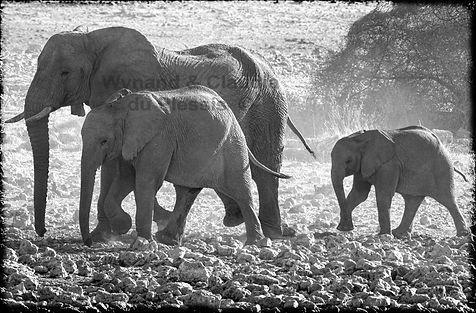 Elephants walking to a waterhole, Etosha, Namibia _ Black-White005