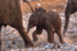 Elephant baby running, Etosha, Namibia - elephants170